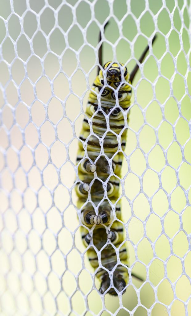 A monarch larva on mesh.