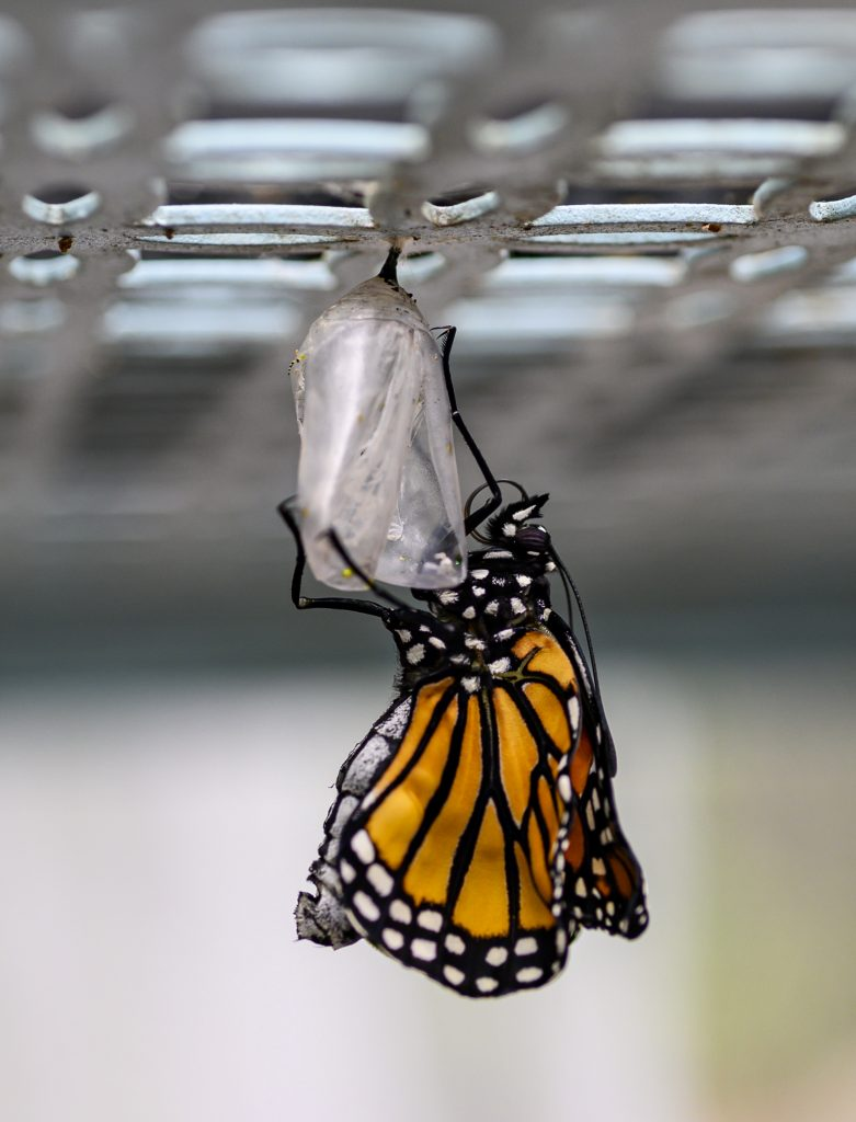 A newly emerged monarch butterfly.