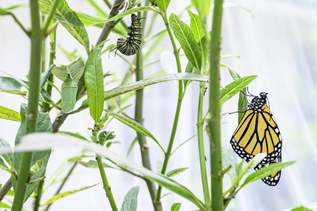 A chrysalis, a pupating caterpillar and a monarch butterfly on milkweed.