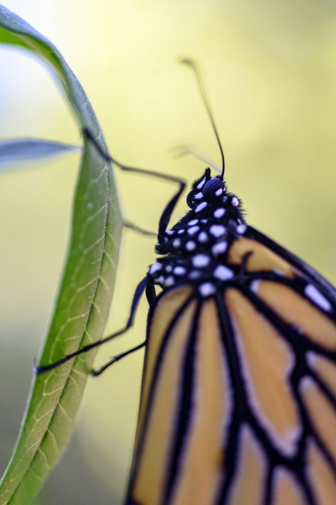 A monarch butterfly on milkweed.