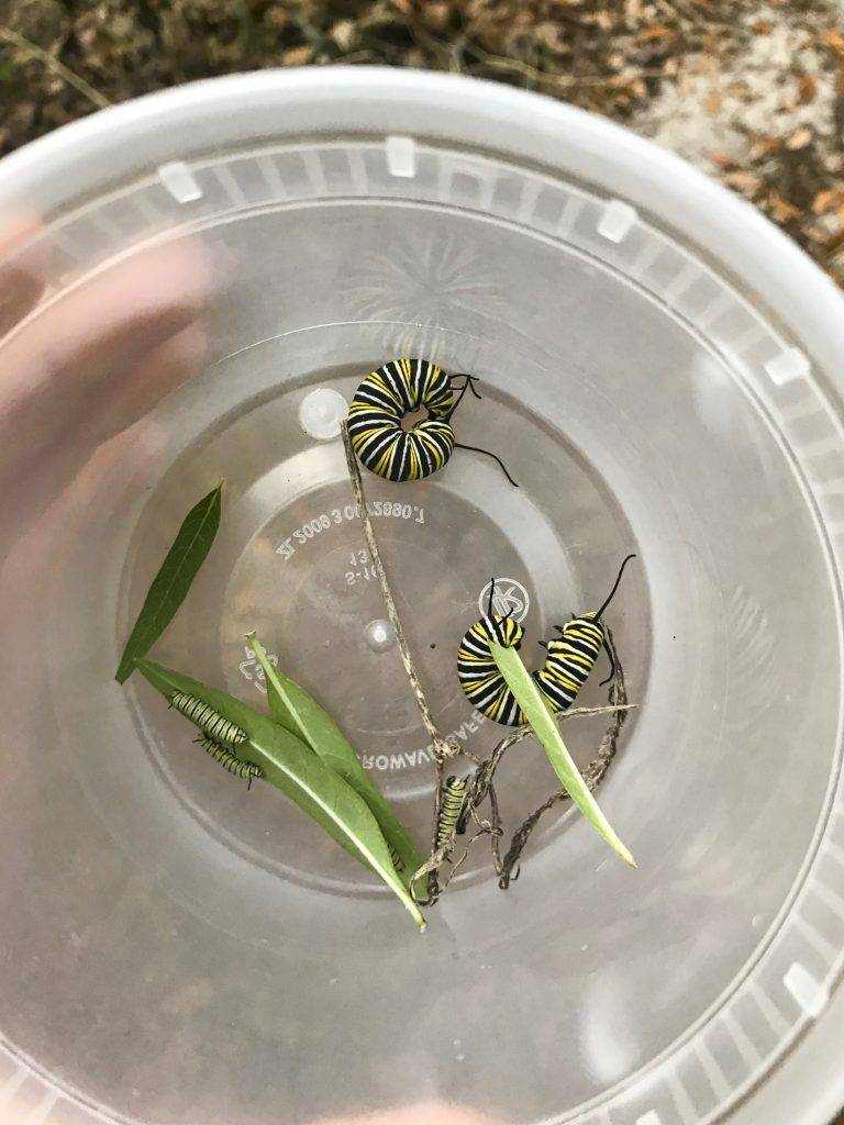 Monarch caterpillars in a container.