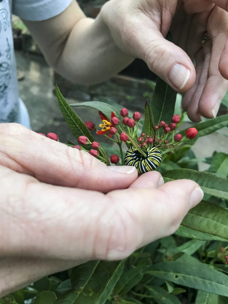 A close-up of hands placing a monarch caterpillar on a milkweed plant.