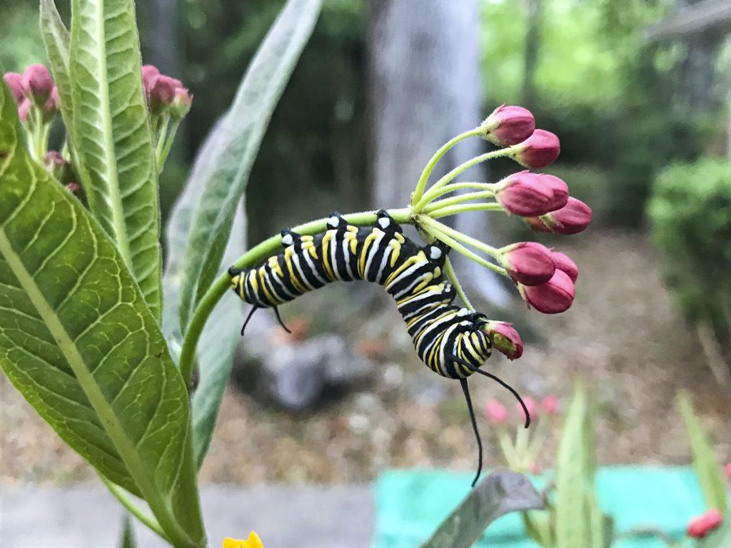 A monarch caterpillar eating a milkweed flower.