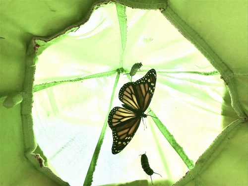 A backlit monarch butterfly in a handing structure.