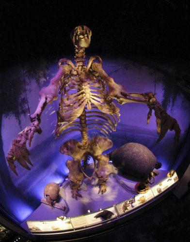 sloth skeleton in exhibit hall