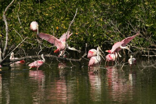 A cluster of roseate spoonbills in the mangroves