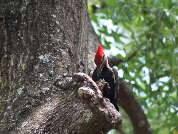 woodpecker with red crest sitting in a free