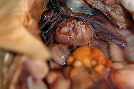 Internal view showing the ovary in relation to the esophagus.