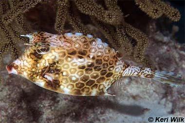 Honeycomb cowfish. Image © Keri Wilk