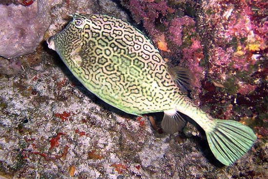 Honeycomb cowfish feed on marine invertebrates. Image © Becky Kelly