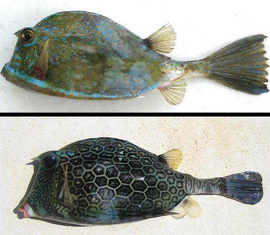 Scrawled cowfish (top) and honeycomb cowfish (bottom). Images © John Soward