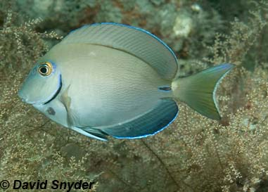 Ocean Surgeon. Photo © David Snyder