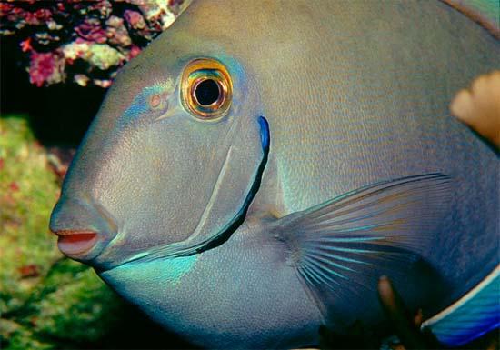 Ocean surgeon coloration. Photo © Richard Bejarano