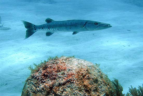 Great barracuda are among the documented predators of the ocean surgeon. Photo © Brian Donahue