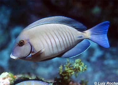 Doctorfish. Photo © Luiz Rocha