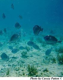 A school of doctorfish. Photo © Cassey Patton