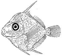 Doctorfish Larva