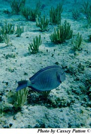 A foraging doctorfish. Photo © Cassey Patton