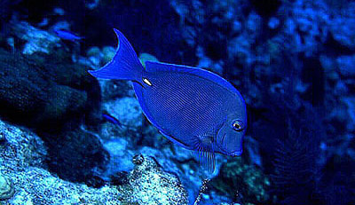 Blue tang. Photo © David Snyder