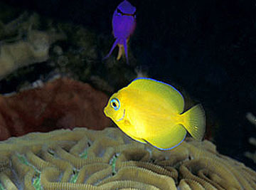 Juvenile blue tang with yellow coloration. Photo © Doug Perrine