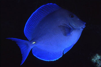 Blue tang. Photo © George Ryschkewitsch