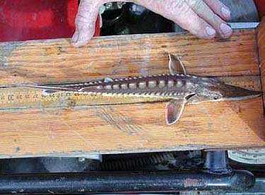 Gulf Sturgeon juvenile. Photo courtesy U.S. Geological Survey