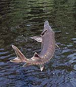 Gulf Sturgeon. Photo courtesy U.S. Geological Survey