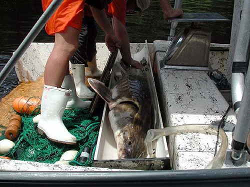 Researchers collecting data as part of the recovery and management plan which has been implemented to assist the gulf sturgeon population recovery. Image courtesy U.S. Geological Survey