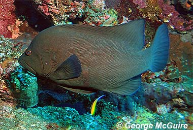 Redmouth grouper. Photo © George Burgess