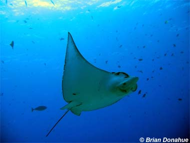 Spotted Eagle Ray. Image © Brian Donahue