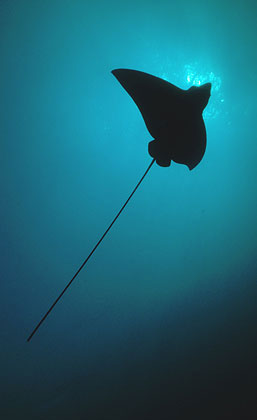 Spotted eagle rays have long, whip-like tails. Image © Steve Jones