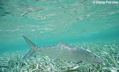 Bonefish. Photo © Doug Perrine