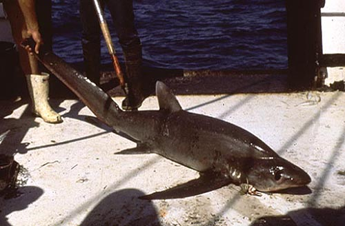 Bigeye thresher. Photo © George Burgess