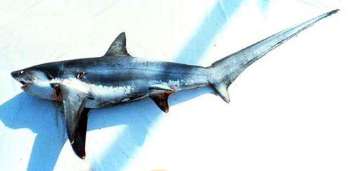 Thresher shark. Photo courtesy National Marine Fisheries Service