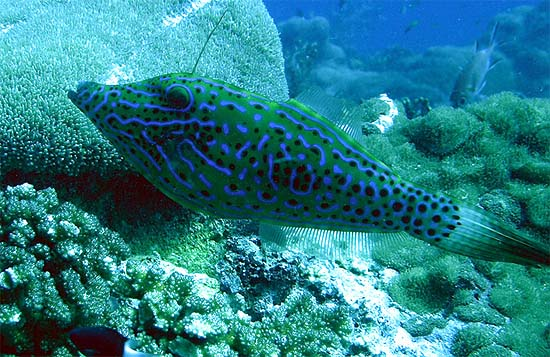 Scrawled filefish live in subtropical waters. Image © Brian Donahue