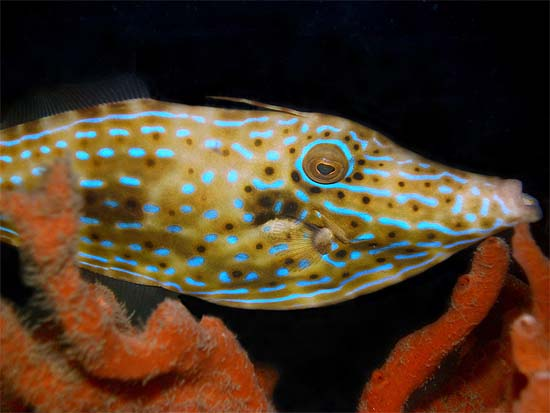 Scrawled filefish coloration varies from olive brown to gray with blue spots and lines and black spots. Image © Judy TownsendScrawled filefish coloration varies from olive brown to gray with blue spots and lines and black spots. Image © Judy Townsend