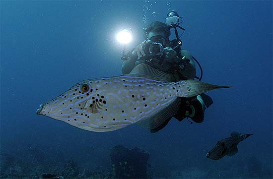 Divers often observe the slow-moving scrawled filefish during their diving activities making it a popular species to photograph. Image © Joe Marino
