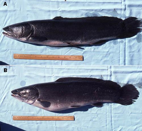 Bowfin specimens, A. Male, B. Female. Photo © George Burgess