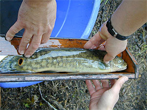 Bowfin reach lengths of 30 inches (75 cm). Photo courtesy National Park Service