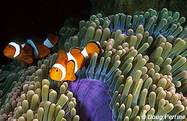Clown anemonefish. Image © Doug Perrine