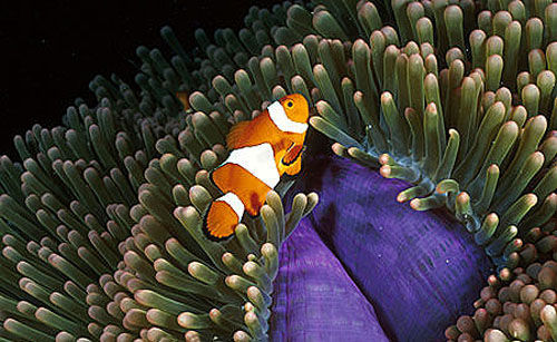 Clown anemonefish are orange with three white bands outlined in thin black lines. Image © Doug Perrine