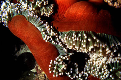 Clown anemonefish form symbiotic associations with anemones including this Heteractis magnifica. Image © George Ryschkewitsch