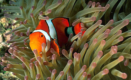 Clown anemonefish closely resemble the orange clownfish (A. percula) as pictured above. Image © Doug Perrine