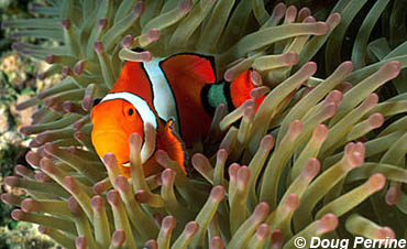 Orange Clownfish. Image © Doug Perrine