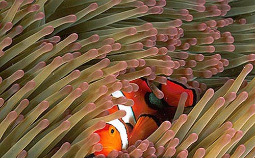 Orange clownfish form symbiotic associations with anemones. Image © Doug Perrine