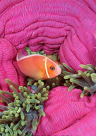 Pink anemonefish. Photo © Doug Perrine