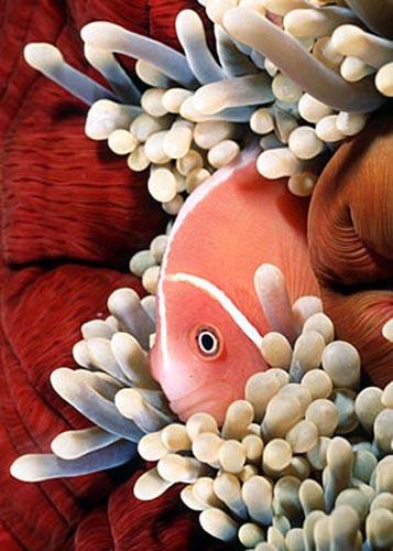 Pink anemonefish from Papua New Guinea. Photo © Doug Perrine