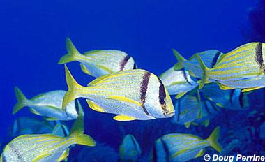 Porkfish. Photo © Doug Perrine