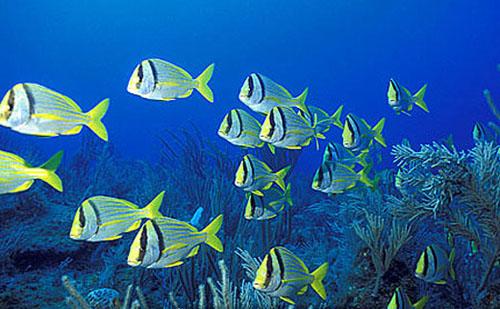 Porkfish schooling over a reef. Photo © Doug Perrine