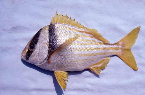 Porkfish. Photo © George Burgess